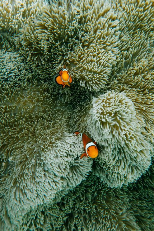 Nemo, Japan underwater photography by Ippei and Janine