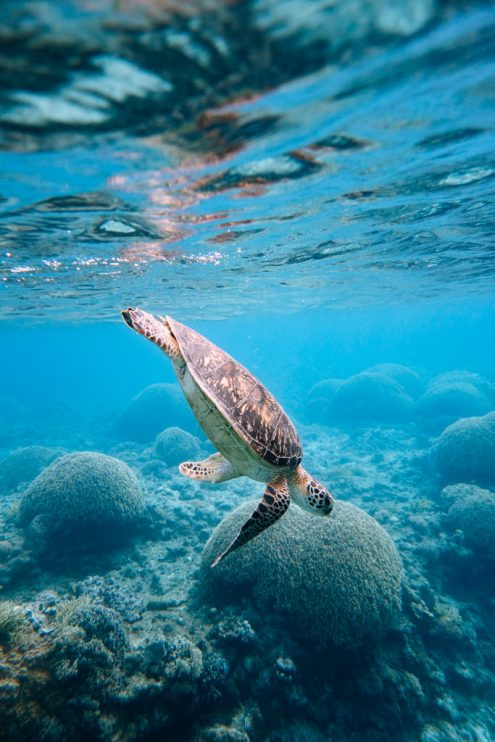 Sea turtle, Tropical Japan underwater photography