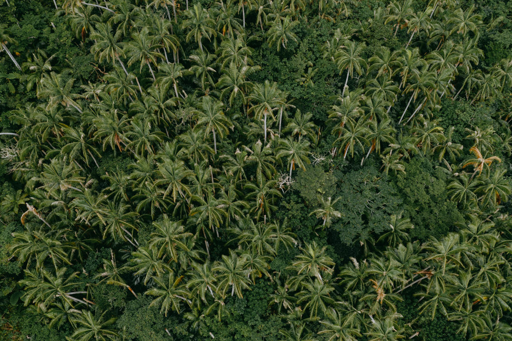 Japan's endemic Satake palm trees in jungle from above