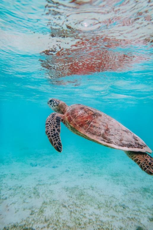 Snorkeling with sea turtles, Miyako Island, Okinawa, Japan