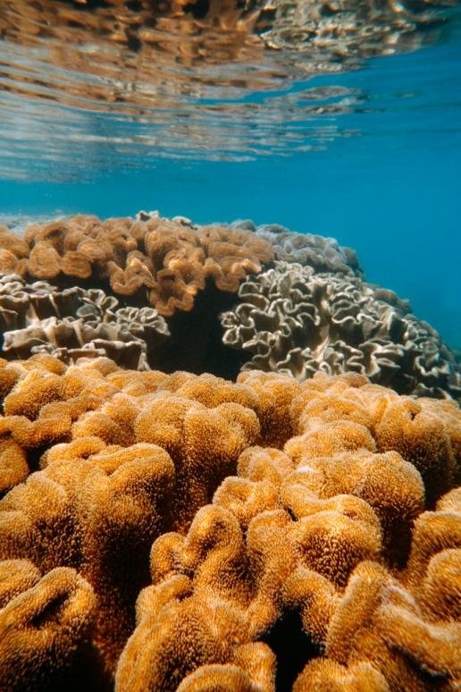 Healthy coral of Kikaijima, Amami Islands, Kagoshima, Japan