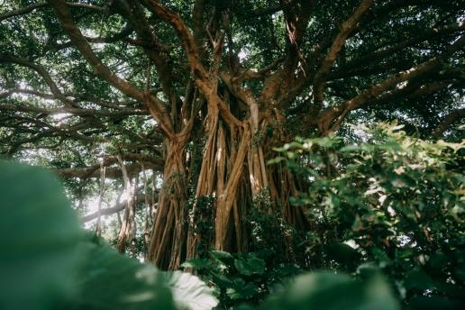 Giant banyan tree, Kikai Island, Kagoshima, Japan