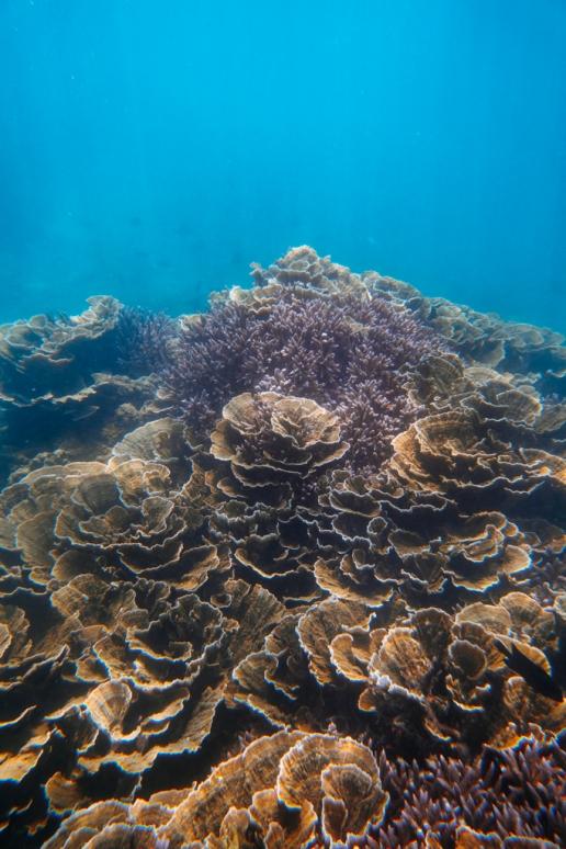 Snorkeling over pristine coral reef, Kikaijima, Amami Islands, Kagoshima, Japan