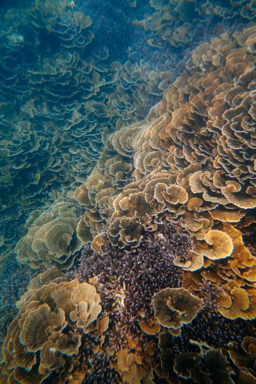 Pristine coral reef, Kikaijima, Amami Islands, Kagoshima, Japan