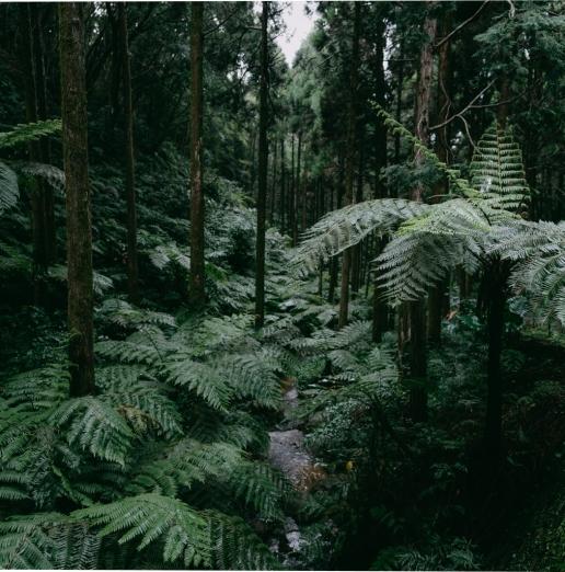 Tree fern rainforest of Tanegashima Island, Kagoshima, Japan