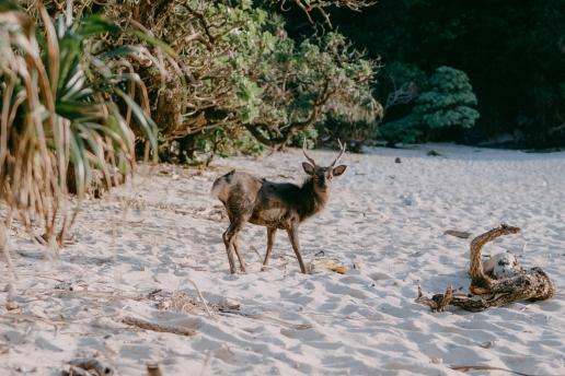 Kerama deer on beach, Aka Island