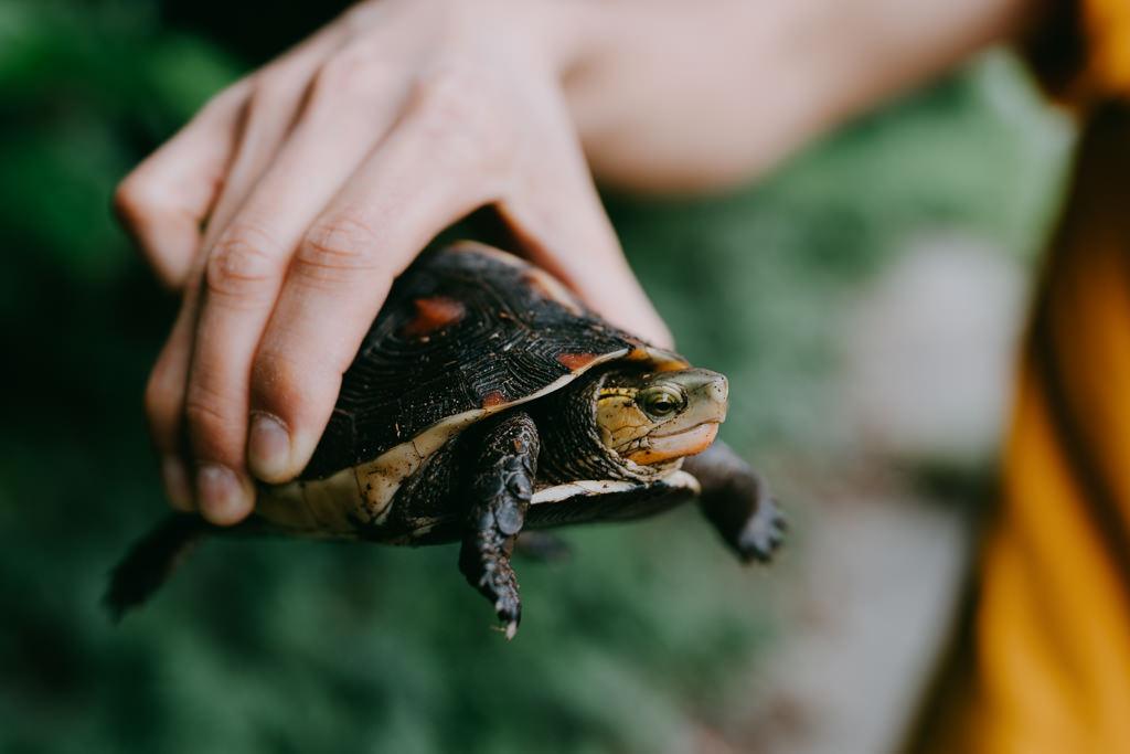 Yaeyama Box Turtle, Iriomote Island, Japan