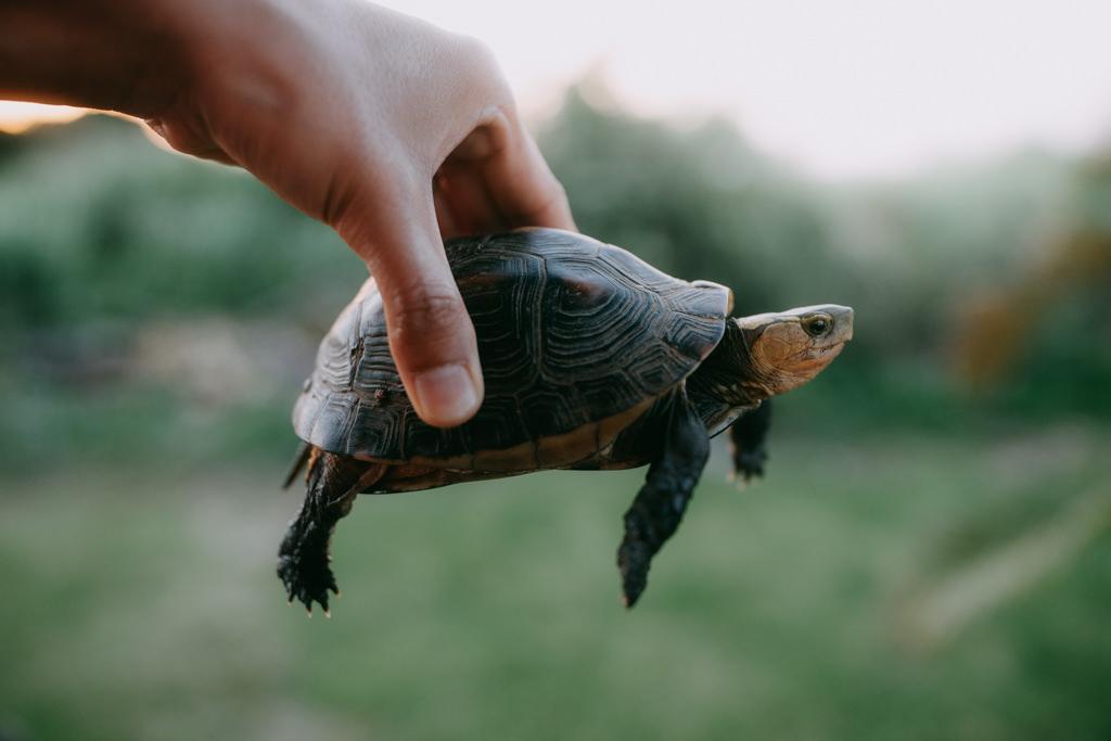 Yaeyama Box Turtle, Ishigaki, Japan