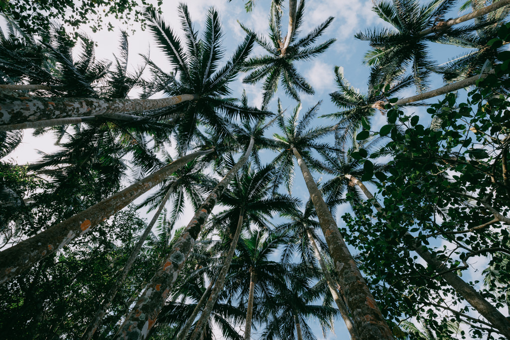 Forest of Satake Palm trees (Satakentia liukiuensis) on Ishigaki Island, Japan