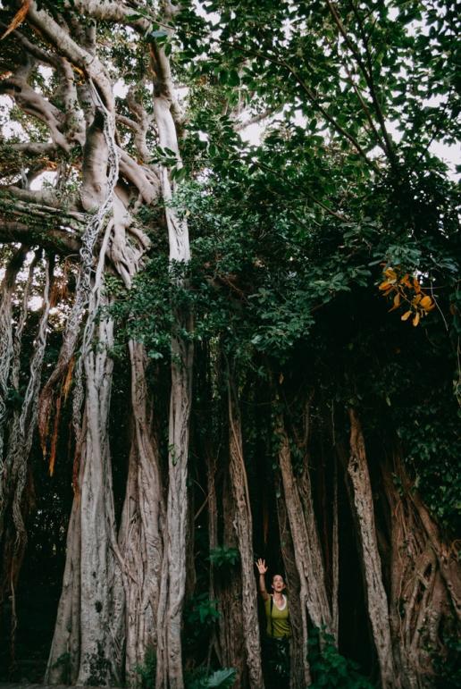 Japanese banyan tree (strangler fig), Yakushima