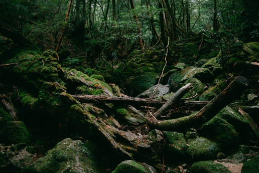 Mossy rainforest of Yakushima Island, Japan
