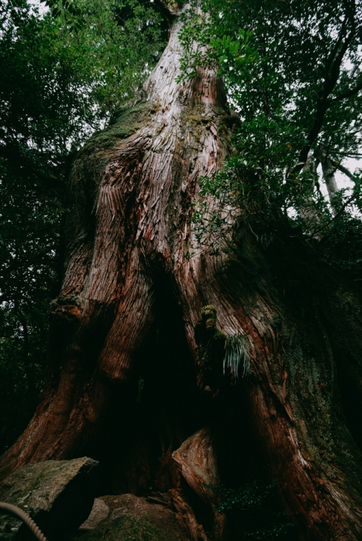Old tree of Yakushima, Kagoshima, Japan