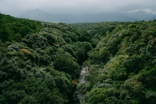 Year-round lush green forest of Yakushima, Japan