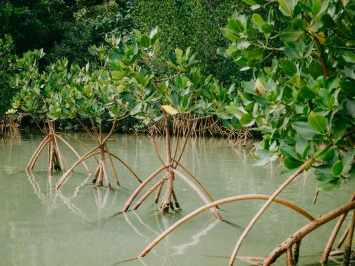 Mangrove kayaking, Irabu Island, Okinawa, Japan