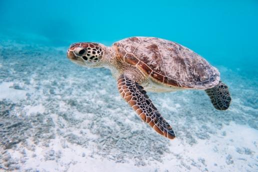Snorkeling with a sea turtle of Tropical Japan, Kerama Islands, Okinawa