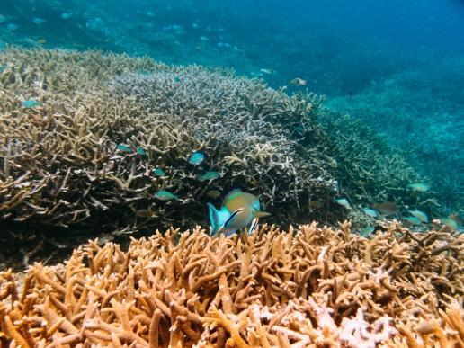 Japanese coral reef snorkeling, Miyako-jima, Okinawa