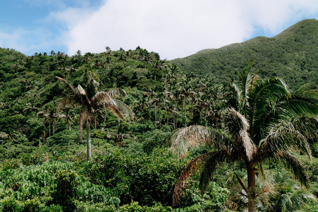 Jungle of Satake palm trees in southern Japan, Ishigaki Island, Okinawa