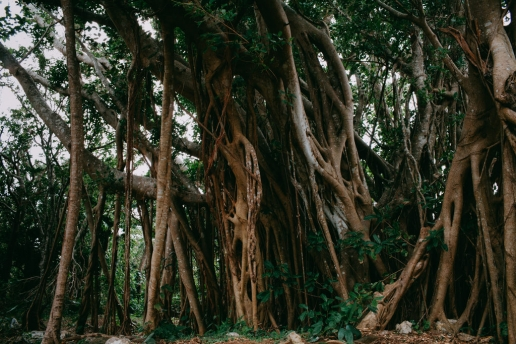 Hiking through a jungle of banyan fig trees, Okinawa Honto