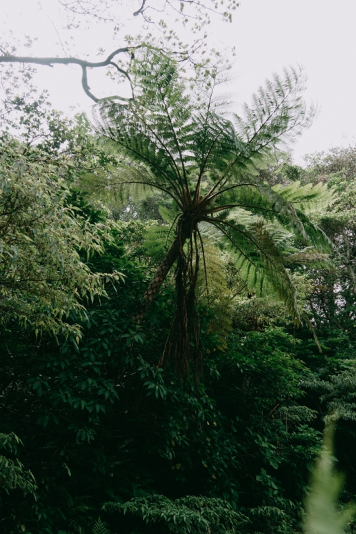 Tree fern thriving inside the crater of Aogashima Island, Tokyo, Japan