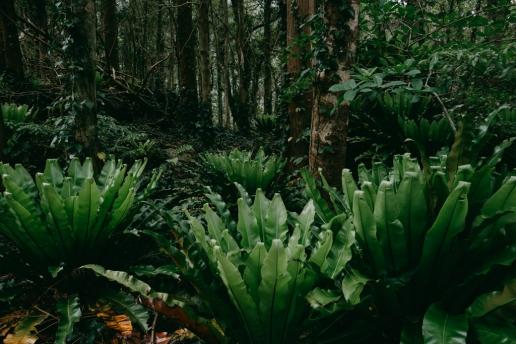 Subtropical rainforest hike inside the crater, Aogashima Island, Tokyo, Japan