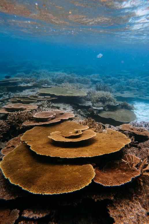 Healthy coral reefs of Japan, Yabiji Reef, Miyako Island