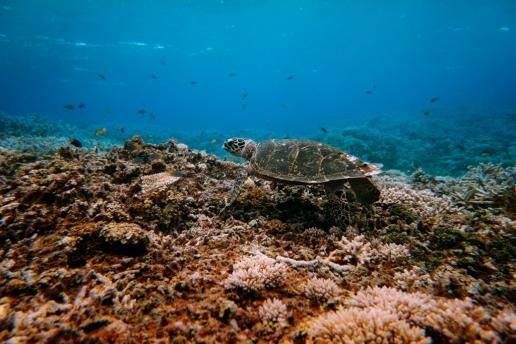 Sea turtle, Yaeyama Islands, Okinawa, Japan