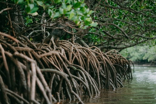 Japanese Loop-root Mangroves, Ishigaki, Okinawa