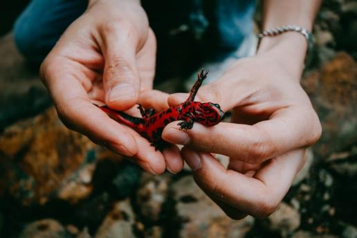 Wild Japanese fire belly newt, Hachijo Island, Tokyo