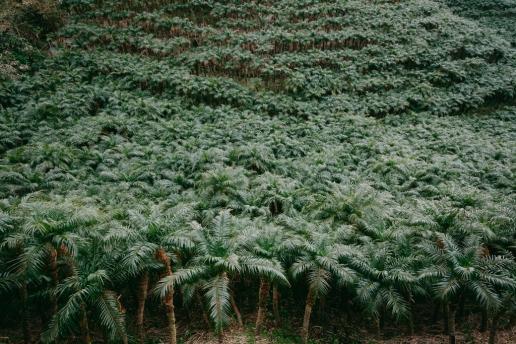 World's largest plantation of Phoenix roebelenii palm trees in Japan, Hachijo-jima Island, Tokyo