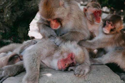 Wild Japanese monkeys, Naoshima Island, Kagawa, Japan