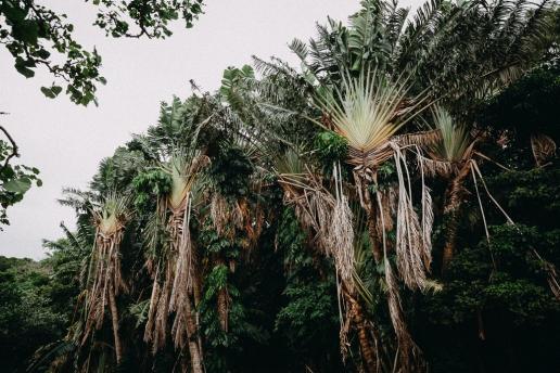 Traveller's Palm Trees in jungle of tropical Japan, Miyako-jima, Okinawa