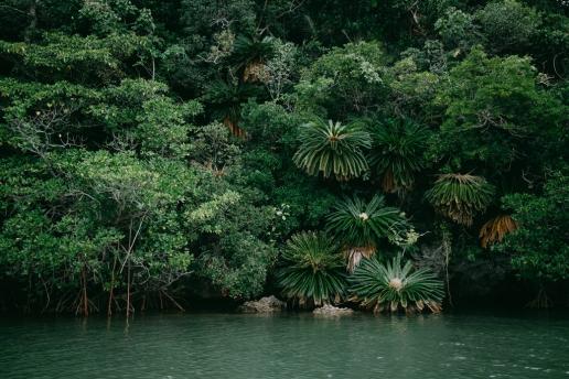 Lush jungle vegetation growing on coral rocks of Tropical Japan, Ishigaki-jima