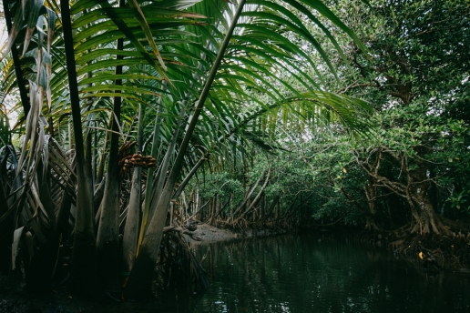 Nipa palms in mangrove jungle, Iriomote Island of the Yaeyama Islands, Okinawa, Japan