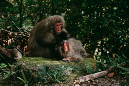 Japanese macaque on Yakushima Island