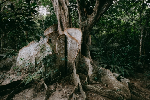 Largest Looking-glass mangrove tree in jungle of Iriomote, Yaeyama Islands, Okinawa, Japan