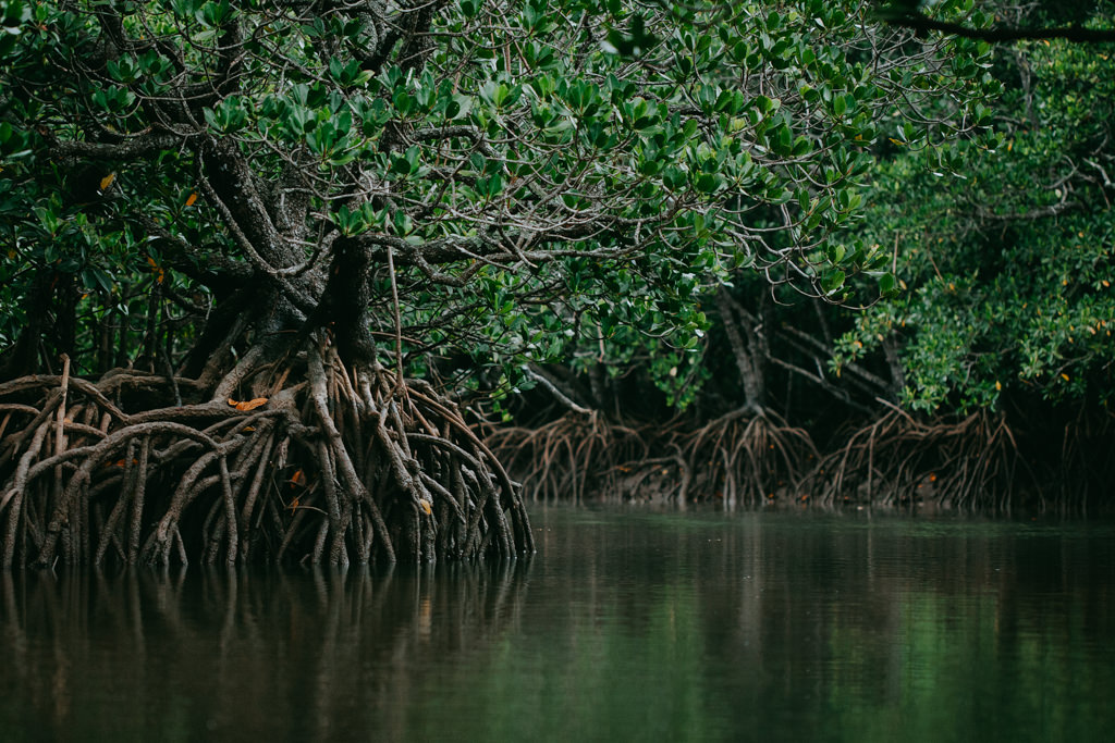 Loop-root Mangroves of Japan, Ishigaki of the Yaeyama Islands, Okinawa