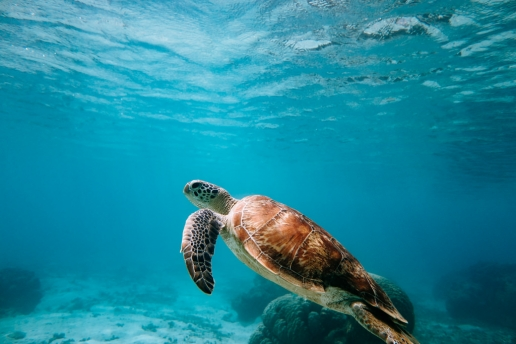 Snorkeling with sea turtle in warm tropical water of southern Japan, Okinawa, Kerama