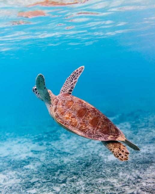 Snorkeling with sea turtles, Zamami Island, Okinawa, Japan
