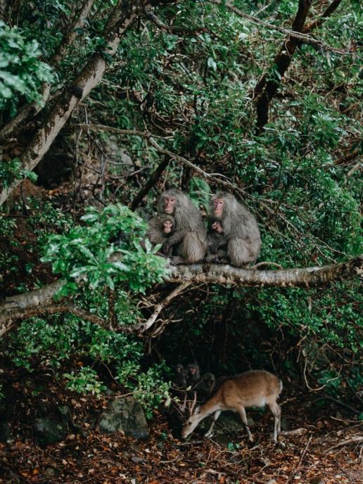 Wild Yaku Macaque, Yakushima, Japan